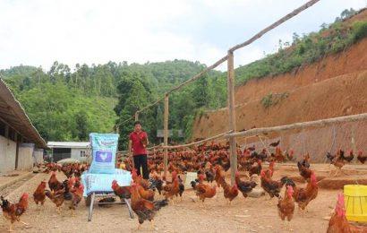 Tuyệt chiêu nuôi gà thả vườn kiểu mới từ chuyên gia