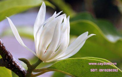 Cách chăm sóc cây ngọc lan phổ biến hiện nay