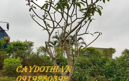 Ý nghĩa của cây Đại trong đời sống hàng ngày